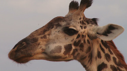 Close up of a giraffe chewing cud Footage