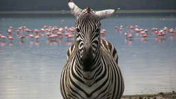 Close up of a zebra head with flamingos in the background Footage