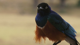 Close up of superb starling bird Videos de Stock