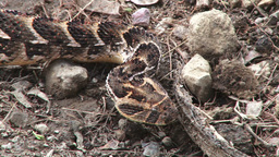 Close up of the head of a puff adder snake Footage