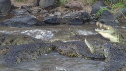 Crocodile rolling round to cut off meat from dead wildebeest Footage