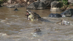Crocodiles fight for a dead wildebeest Footage