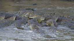 Crocodiles share a meal of a wildebeest one影片素材