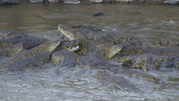 Crocodiles share a meal of a wildebeest one Stock Video Footage