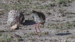 Crown plover eating ants Footage