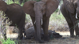 Elephant baby sleeping Footage