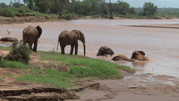 Elephants bathing in a swollen river Footage
