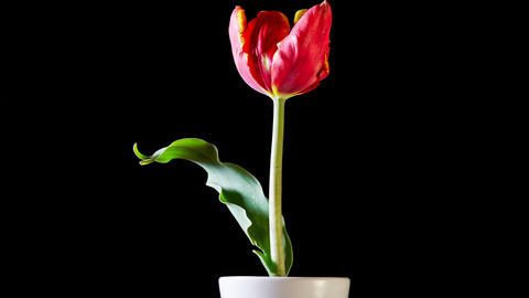 Red Tulip Flower On Black Background Footage