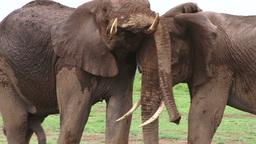 Elephants playing while facing the camera Footage