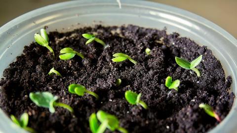 Growing Of Cucumber seedligs Footage