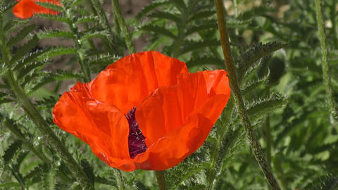 Flowers are red poppies Footage