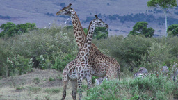 Giraffes fighting Footage