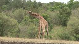 Giraffes twisting their necks Footage