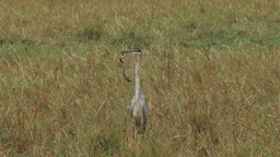 Heron hunting a snake Footage