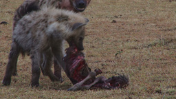 High ranking juvenile hyena refuses to share food Footage