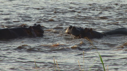 Hippos confront each other in a territorial dispute Footage