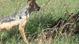 Jackal runs away from lion food Footage