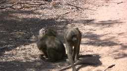 Juvenile baboons playing Footage