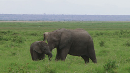 Juvenile elephant taking care of a baby Footage