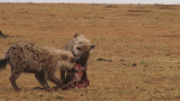Juvenile hyenas share food Footage