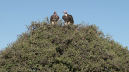 Lappet faced vultures and a lillac breated roller zoom back Footage