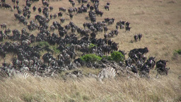 Large group of widebeests migrating Footage