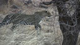 Leopard stalking a prey Footage