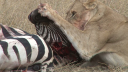 Lion is joined by a baby while eating the ears of a zebra Footage