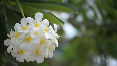 Flower Frangipani Footage