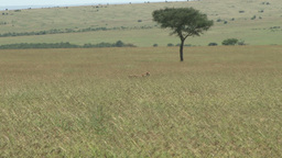 Lioness hunting in long grass Footage