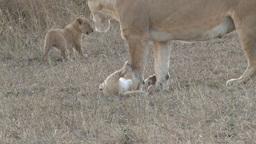 Lioness licks her baby Footage
