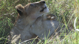 Lionesses grooming each other Footage