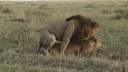 Lions mating on side view Footage