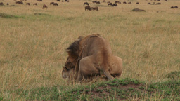 Lions mating while wildebeests watches from far Footage