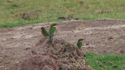 Little bee eaters on a small anthill Footage