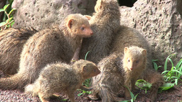Little mongoose grooming in the sun Footage