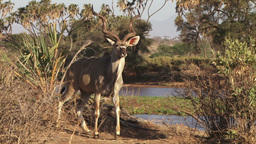 Male greater kudu facing the camera Footage