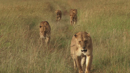 Many lions walking in the bush Footage