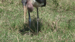 Marabou stork trying to eat intestines Footage