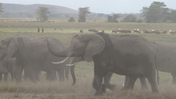 Masais and elephants in the swamps Footage