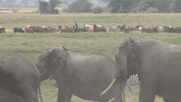 Local tribesmen looking after their domestic animals while elephants graze by Footage