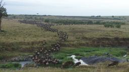 Migrating wildebeests change direction Footage
