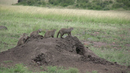 Mongoose in a line on top of an anthill Footage