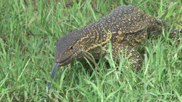 Monitor lizard walking through the grass facing the camera Footage
