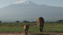 Mother and baby elephant walking down kilimanjaro Footage