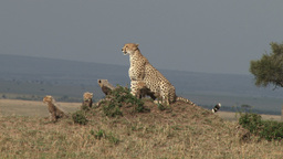 Mother cheetah and cubs on an anthill Footage