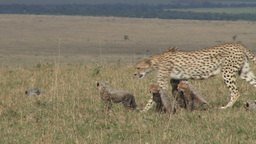 Mother cheetah walks her cubs in the plains Footage