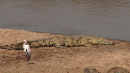 Nile crocodile resting next to yellow billed stork Footage