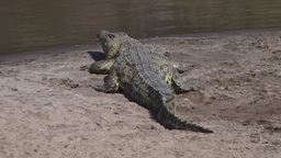 Nile crocodile resting on the banks of mara river Footage