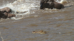 Nile crocodiles agressively hunting wildebeests while crossing mara river Footage